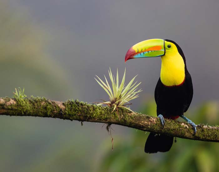 A tucan on a branch in Costa Rica